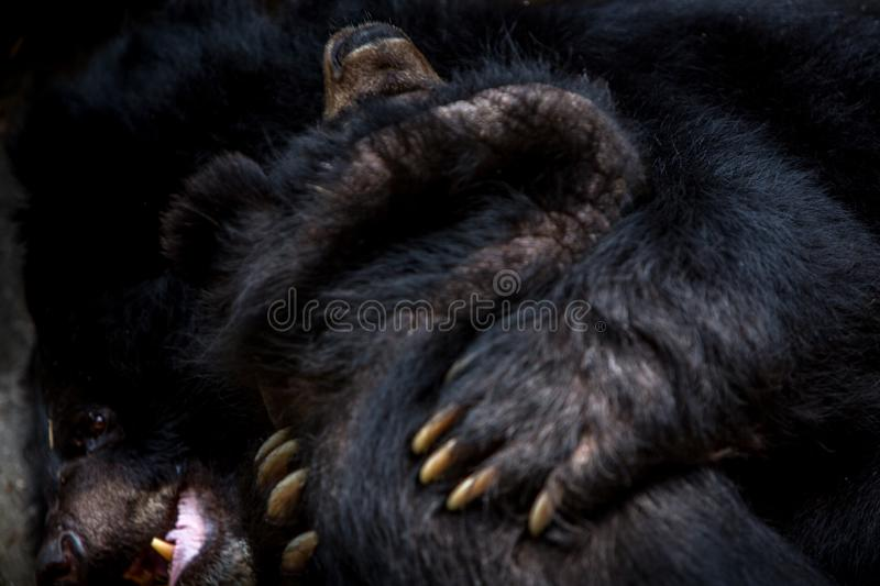 Closeup to the face of two adults Formosa Black Bears figthing with the claws. In the forest. Ursus Thibetanus Formosanus figth royalty free stock photos