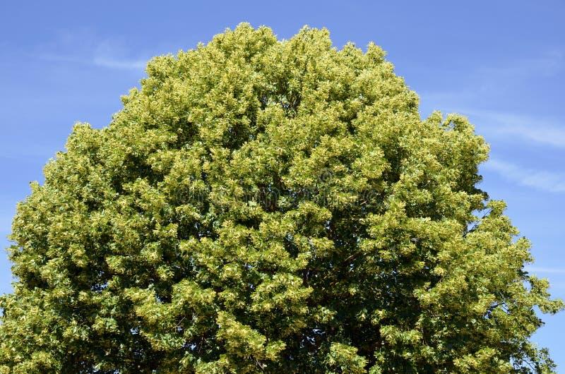 Download Closeup To The Foliage Of A Tilia Stock Image - Image: 22325523