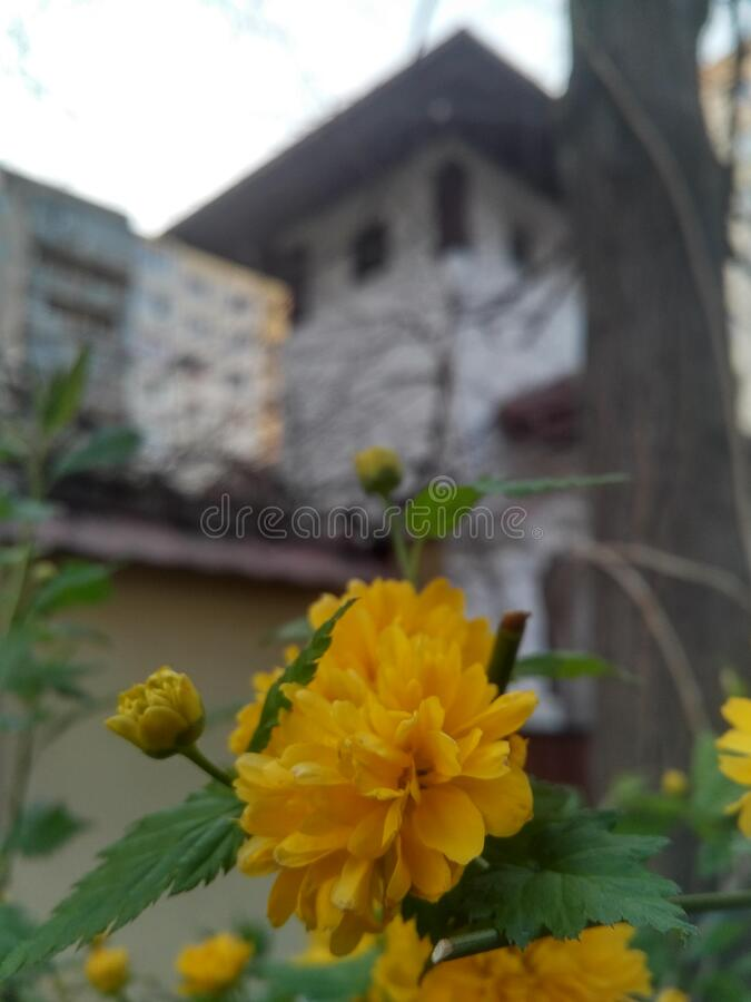 Closeup to a golden early spring keria japonica flower, with neo-romanian architecture and soviet bloc in the background blur royalty free stock images