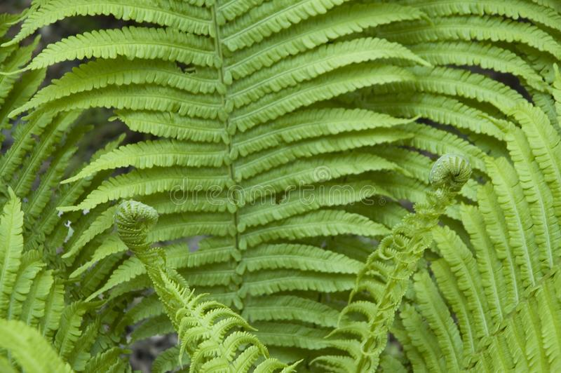 Fern unrolling two new fronds royalty free stock image