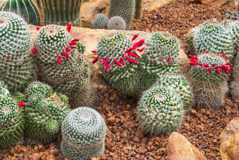 Closeup to Group of Mammillaria Prolifera Hybrids Cactus/ Cactaceae, Succulent and Arid Plant.  royalty free stock image