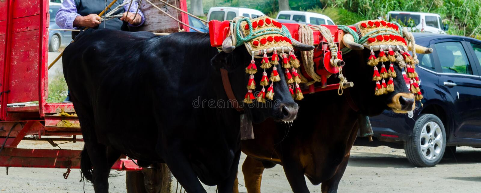 Closeup to the head of an ox decorated with traditional decoration, livestock. Agriculture royalty free stock images