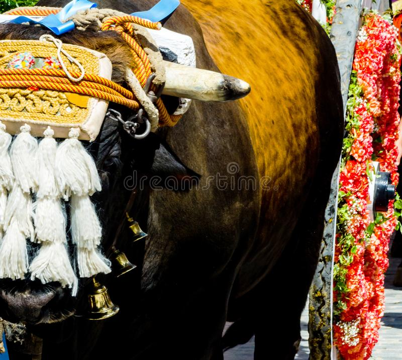 Closeup to the head of an ox decorated with traditional decoration, livestock. Agriculture royalty free stock image