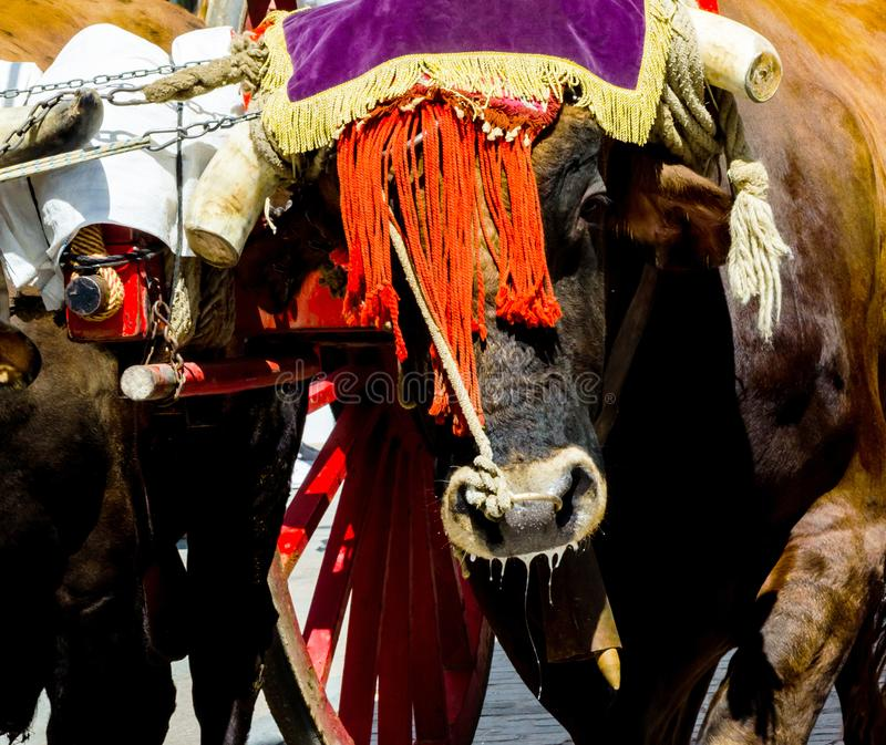 Closeup to the head of an ox decorated with traditional decoration, livestock. Agriculture stock photo