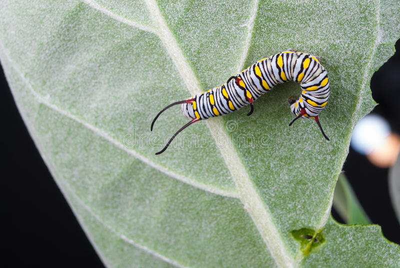 Closeup to Larva Plain Tiger Butterfly Caterpillar, Danaus Chrysippus stock photo