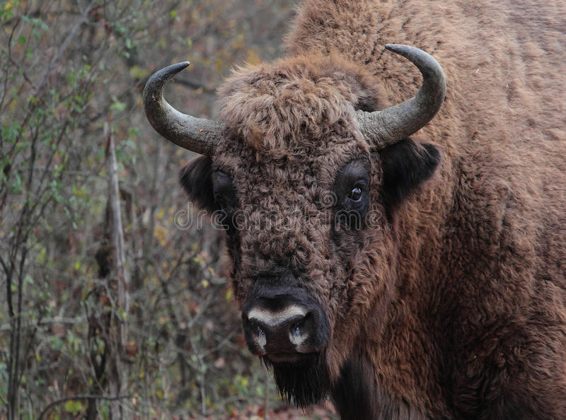 Closeup to a male european bison in the autumn for stock photography