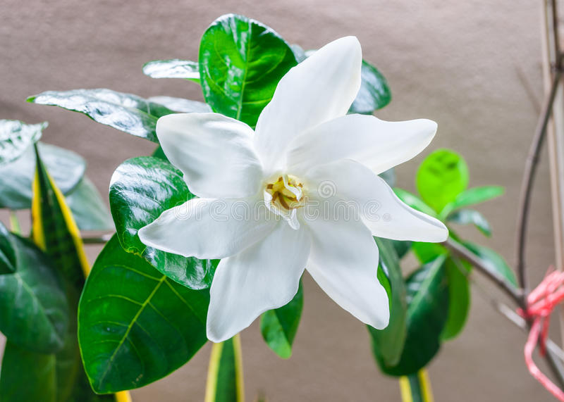 Closeup to Single Fresh Blooming White Gardenia Collinsiae/ Rubiaceae Flower royalty free stock photography