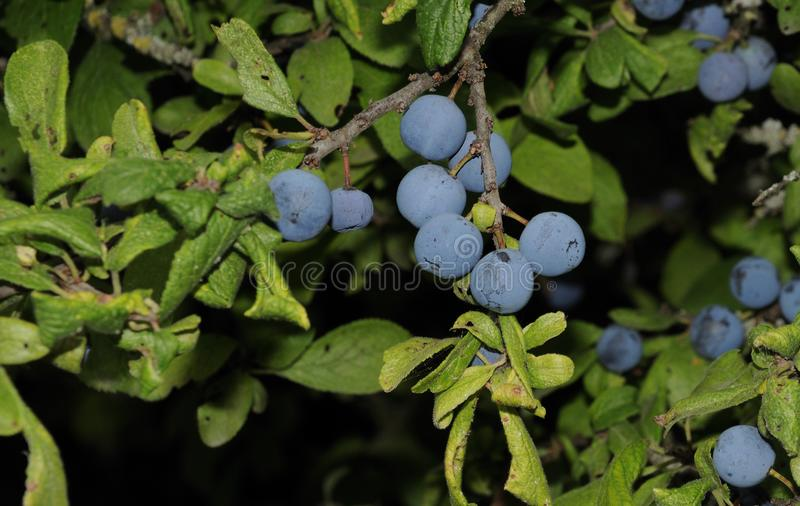 Ripe blue fruits of a blackthorn. Closeup to sloes, the drupes of prunus spinosa, a flowering shrub of rosaceae family stock image
