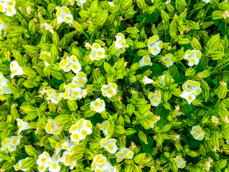 Closeup to White and Yellow Bluewings/ Wishbone Flower/ Torenia Fournieri Lind. ex Fourn./ Scrophulariaceae Background.  royalty free stock image
