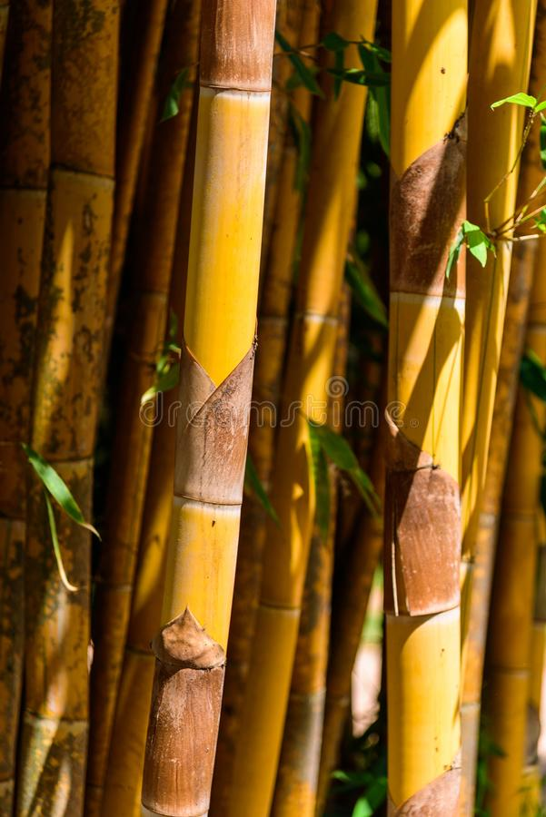 Closeup to Yellow bamboo. In garden stock photography