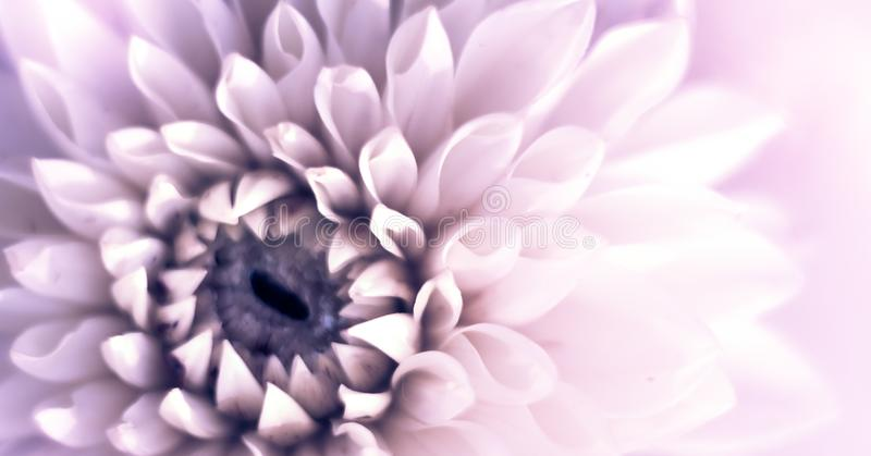 Closeup top view banner of beautiful violet dahlia flower with soft focus. Greeting card concept stock photo