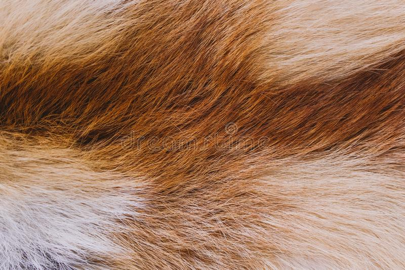 Closeup top view of fluffy texture of colorful real fox animal fur royalty free stock photo