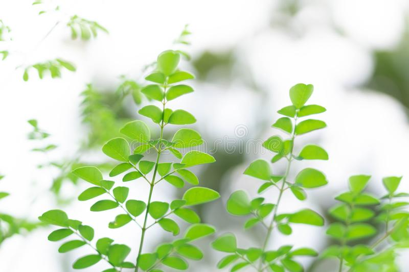 Closeup top view moringa leaves branch, herb and medical concept royalty free stock photos