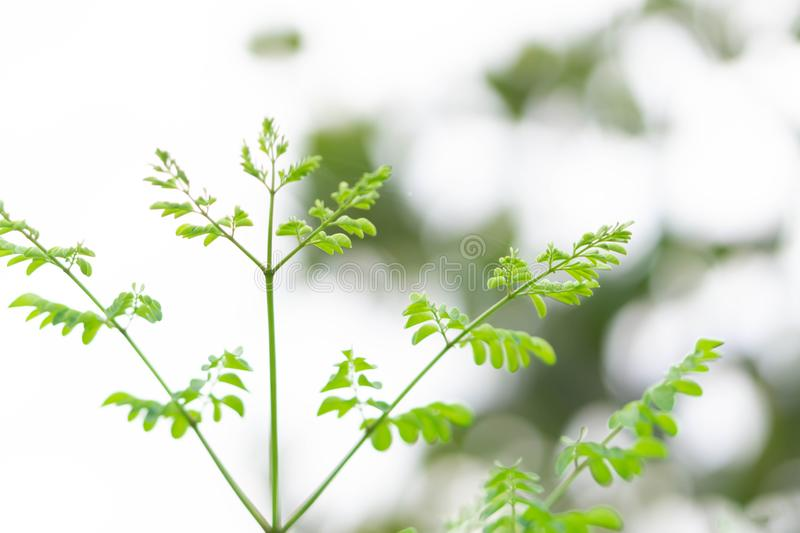 Closeup top view moringa leaves branch, herb and medical concept stock photo