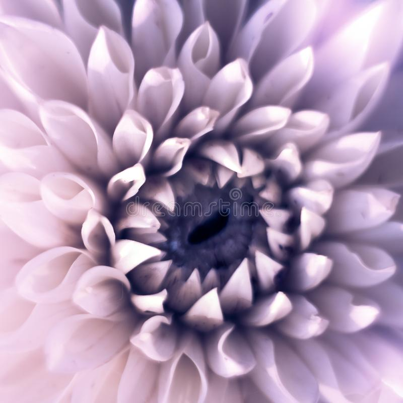 Closeup top view square of beautiful violet dahlia flower with soft focus. Greeting card concept stock photography