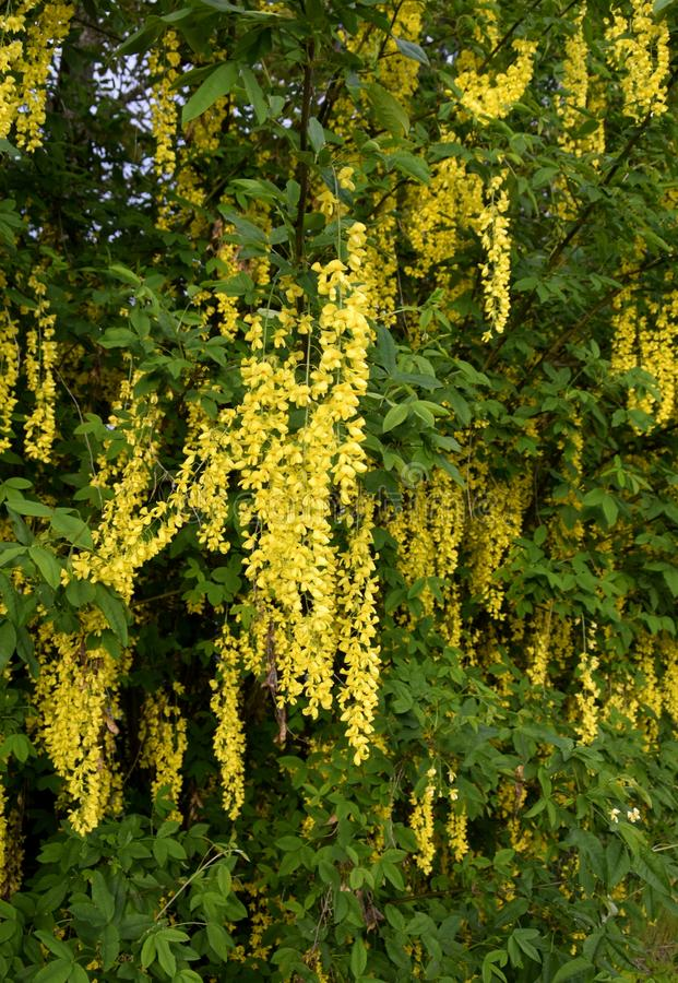 trailing yellow flowers on a Golden Shower tree royalty free stock photos
