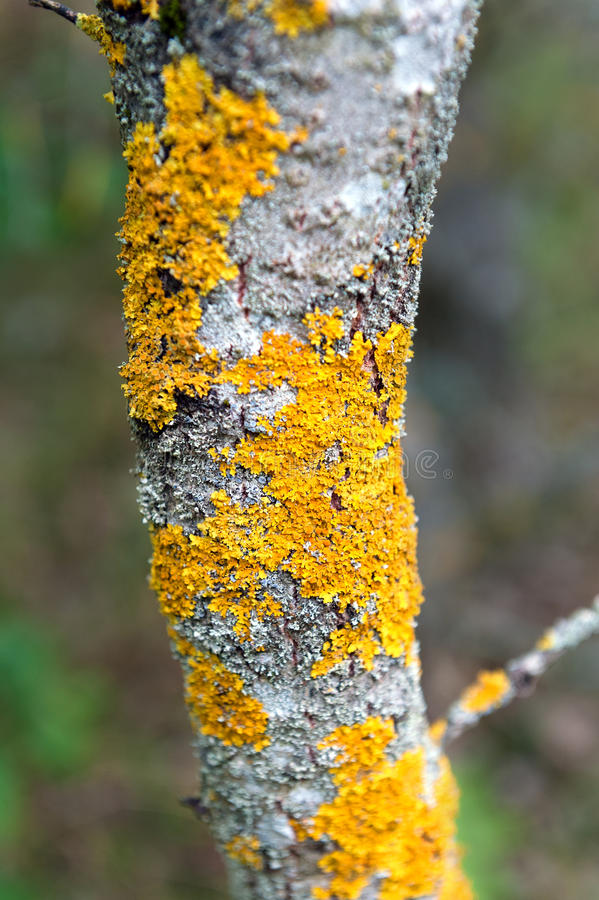 Closeup of a tree bark texture with moss. Closeup of a tree bark texture with yellow moss royalty free stock images