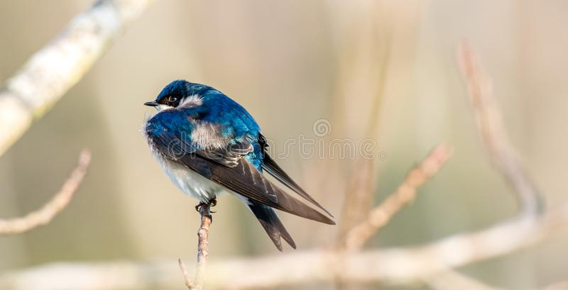 Tree swallow on branch against blurred background stock images