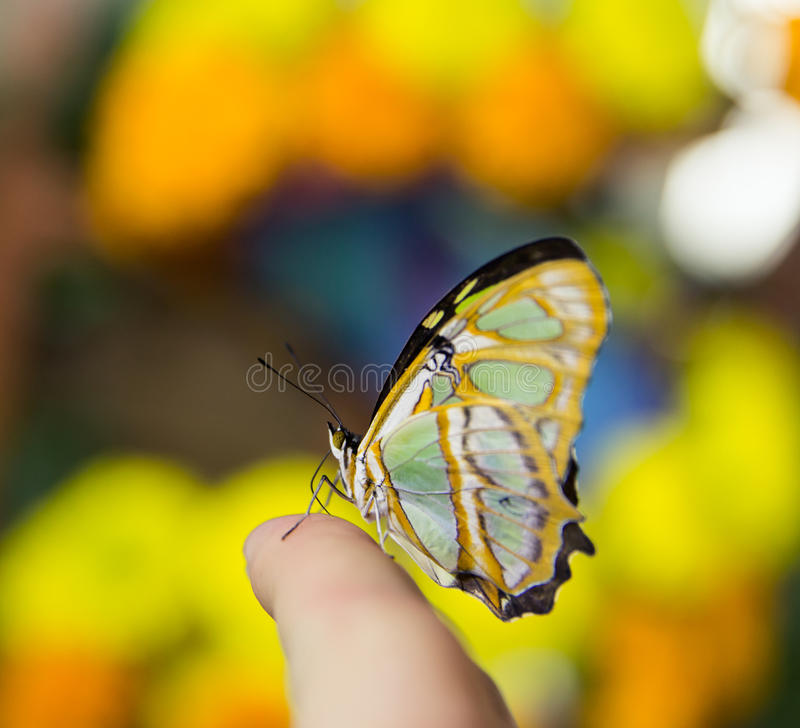 Closeup of a tropical colorful Butterfly Malachite. In a rainforest stock photography