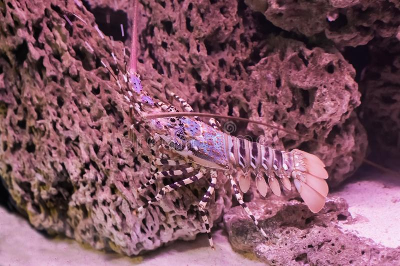 Closeup of a tropical ornate spiny rock lobster walking over a stone under the water stock images
