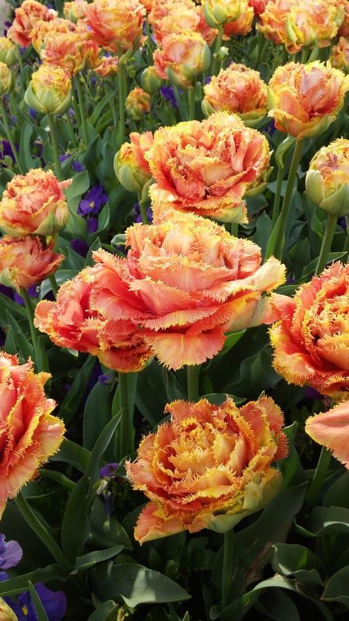 closeup Tulipas alaranjadas dos príncipes Flor bonita da mola no dia de mola ensolarado no jardim do parque imagem de stock royalty free