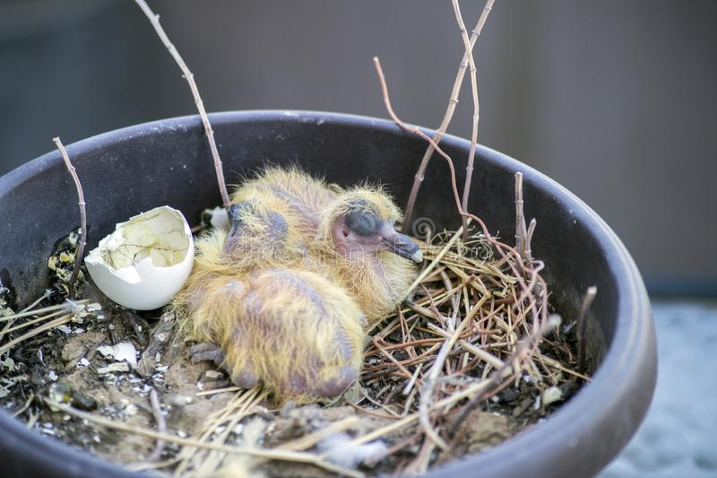 Closeup of two baby pigeons chicks sitting in the nest and sleeping royalty free stock photo