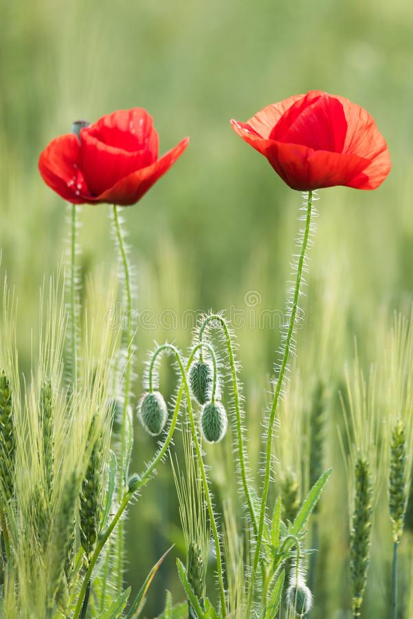 Closeup of two beautiful red poppies in a wheat green field in the summer royalty free stock images