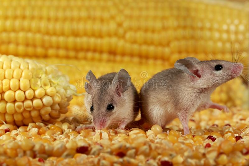 Closeup two curious young gray mouse lurk near the corn in the warehouse. stock image