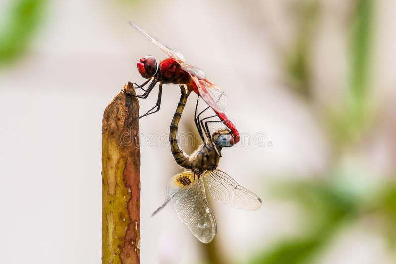 Closeup of two dragonflies mating. In nature stock image