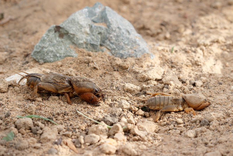 Closeup two European mole cricket running along the ground stock photos