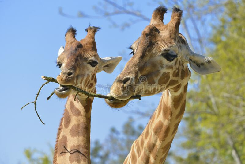 Closeup of two giraffes eating a twig royalty free stock photo