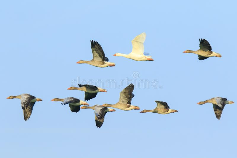 Greylag geese Anser Anser migrating stock photography