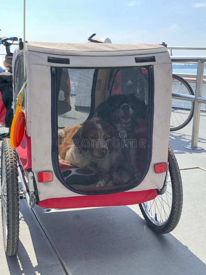 .Closeup of two hunting dogs in a wheeled pet carrier stock images
