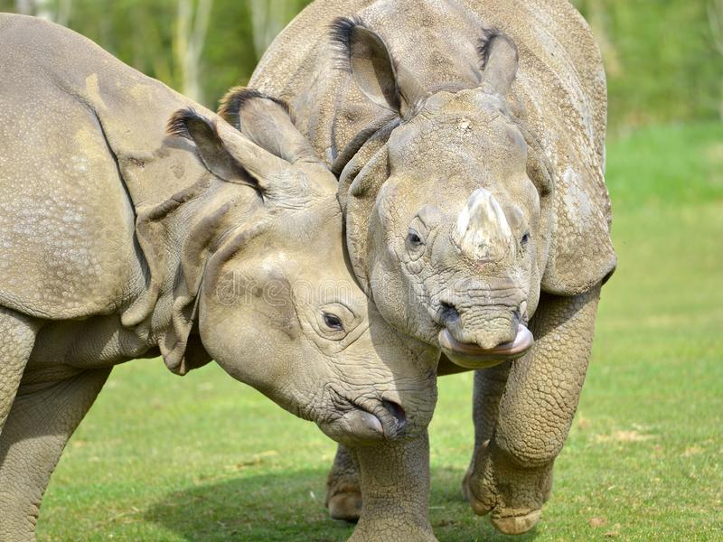 Closeup two Indian rhinoceros royalty free stock images