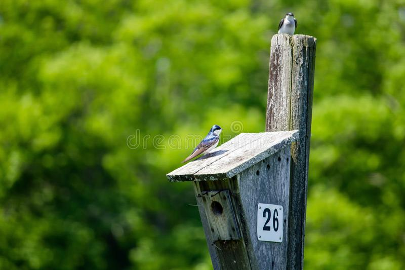 Closeup of two little birds sitting around the birdnest with blurred leafy background royalty free stock image
