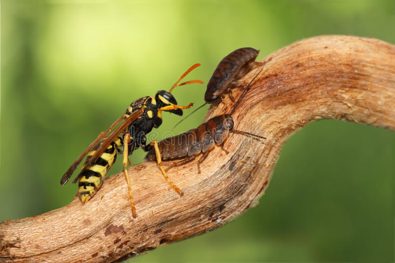 Closeup two little nymphs of madagascar cockroache and wasp on branch on green leaves background. royalty free stock images