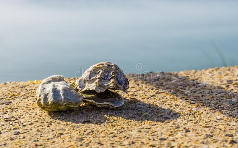 Closeup of two oyster shells on the beach, popular shell fish specie, ocean life background royalty free stock photography
