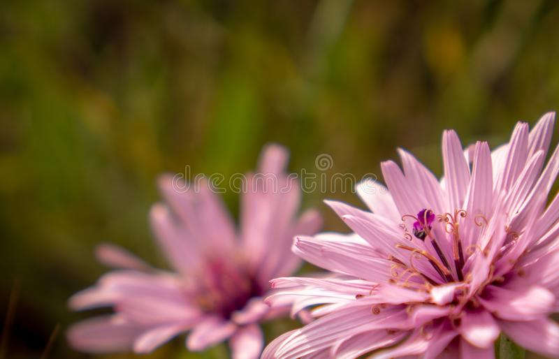 A twin pink wildflowers in a closeup stock image