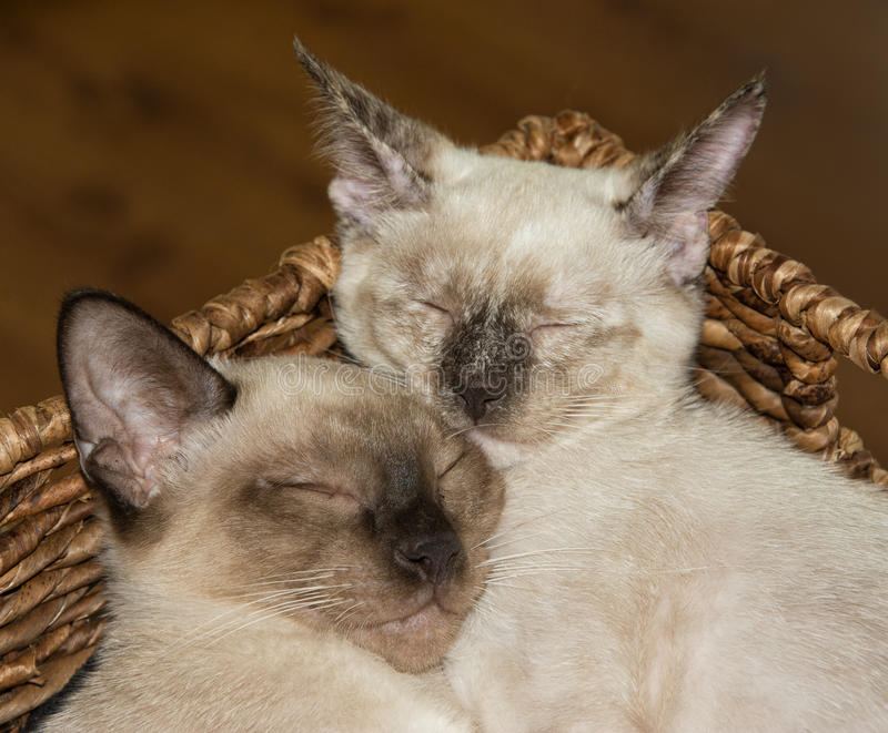 Closeup of two Siamese kittens snuggling up, asleep. In a brown basket royalty free stock photography