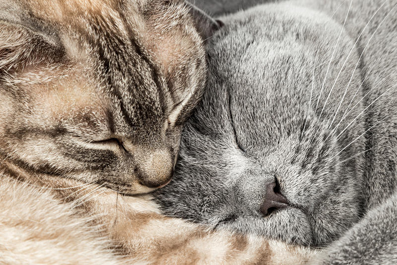 Closeup of two sleeping cats. Closeup of two sleeping cuddling cats together thai siam and british shorthair pet couple stock image