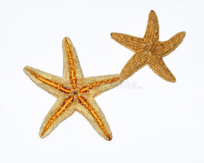 Download Starfishes Couple On White Background Stock Image - Image of objects, cute: 29904191
