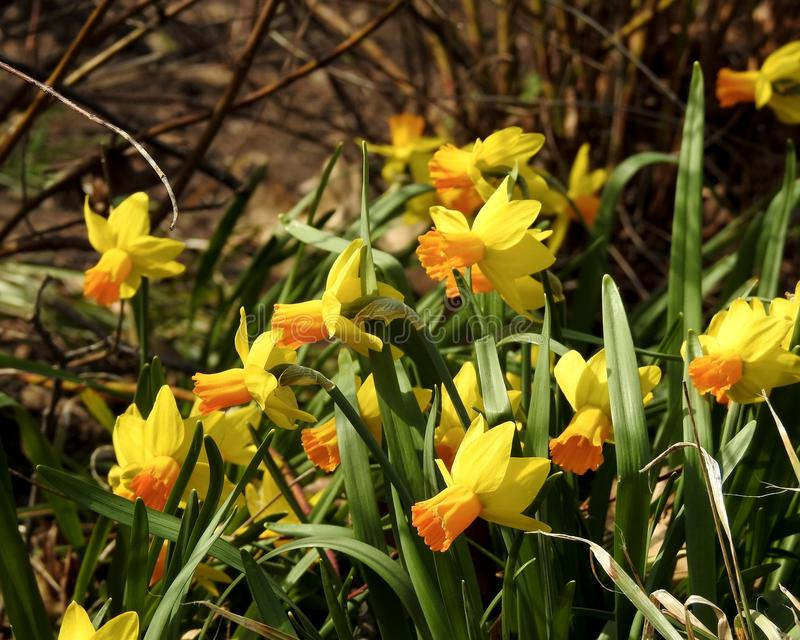 Closeup of Two-tone Daffodil Patch stock image