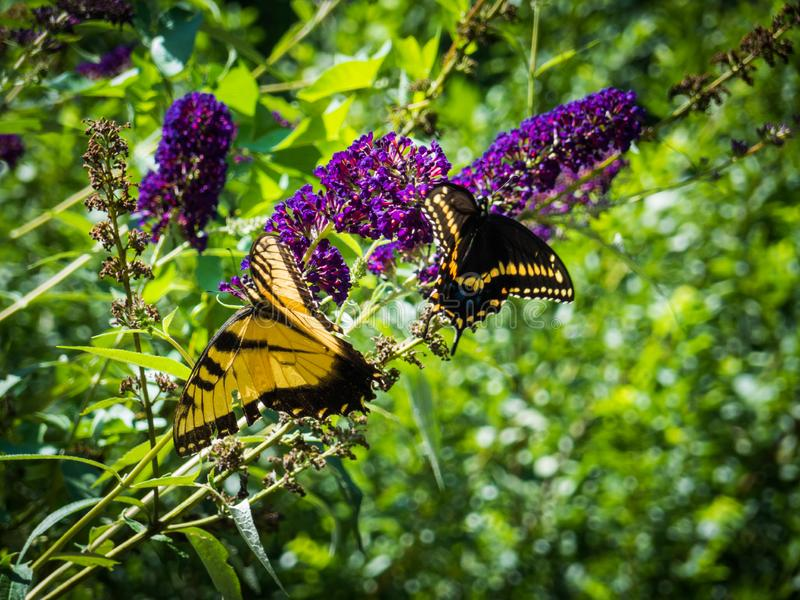 Closeup of two yellow and black butterflies feeding on purple flowers nectar stock photos