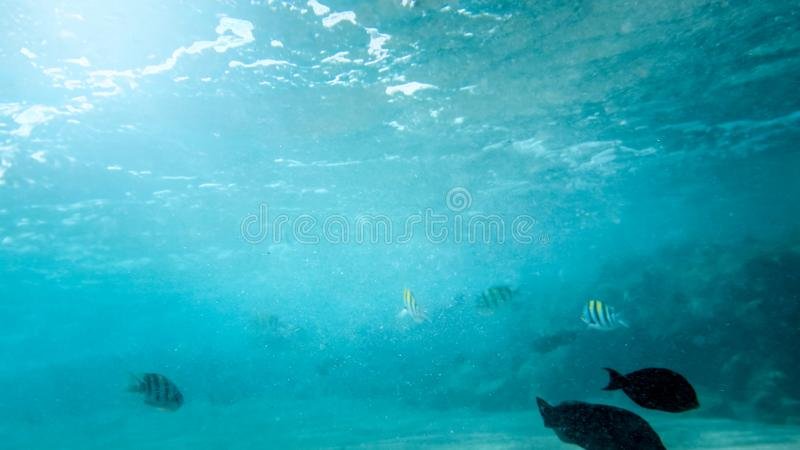 Closeup underwater photo of coral reef fishes swimming in the ocean next to the sandy sea bottom stock image