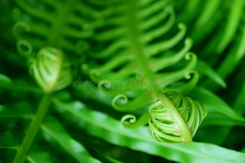 Closeup Unfolding Young Fern Leaf with Selective Focus. Beauty in nature stock photo