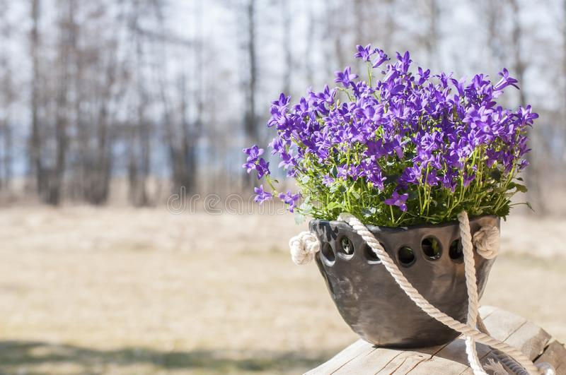 Beautiful spring closeup of unique handmade planter of black pottery with beautiful Bellflowers in spring sunlight stock photo