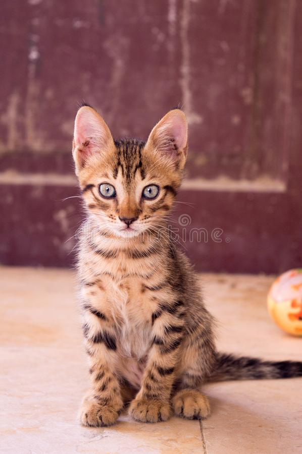 Closeup Up Photography of Dragon Li Kitten royalty free stock photo