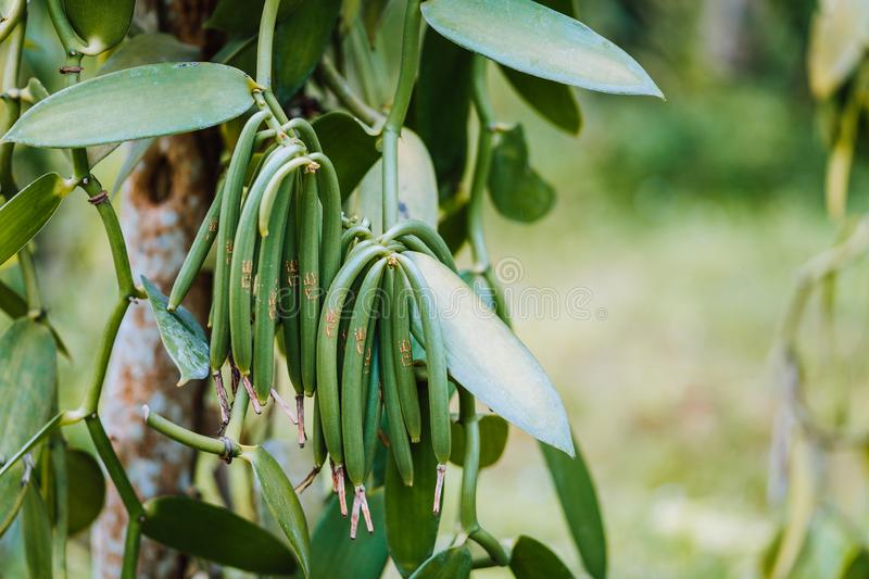 Closeup of vanilla plant green pod on plantation. Agriculture in tropical climate royalty free stock images