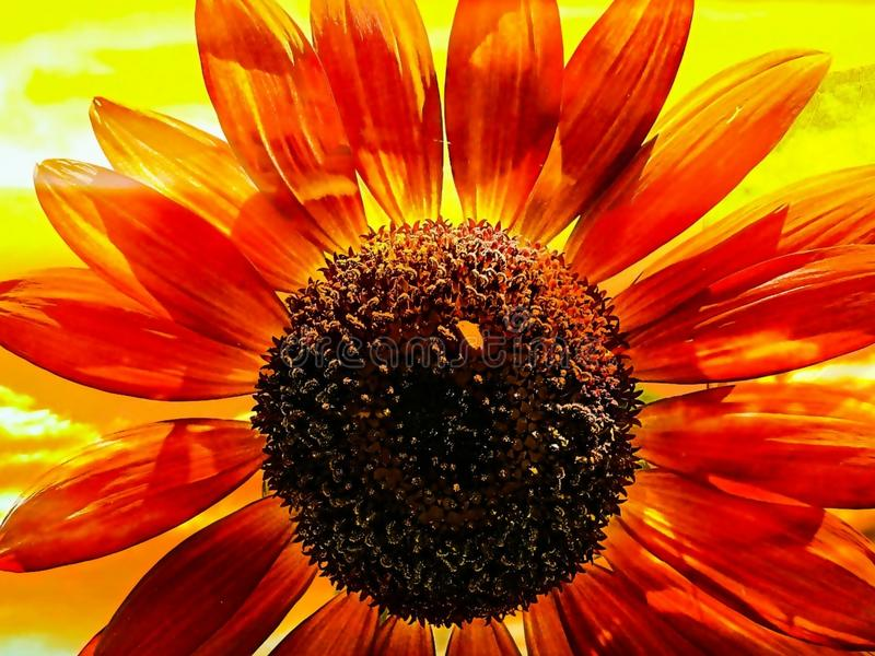 Red Sunflower On A Bright Yellow Background stock photography