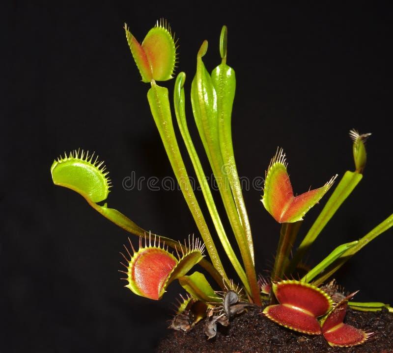 Closeup of venus fly trap. Venus fly trap closeup portrait royalty free stock photo